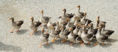 Ducks Walking in Active Adult Community